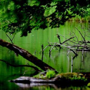 妻の誘いで蔦沼へ / カメラを抱えて近くの沼でカワセミ狙いで待機