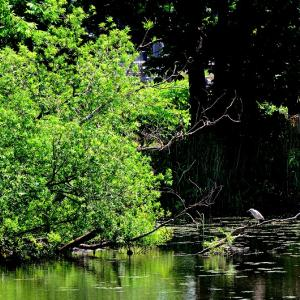 久方ぶりに近所の「堤」で鳥撮り / ゴイサギ、アカゲラ、そして本命のカワセミ