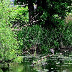 近所の「堤」で鳥撮りも / 撮れたのはゴイサギの幼鳥