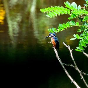 お昼の休憩時間を利用して近所の堤で鳥撮り / ダイビングを繰り返すカワセミですが