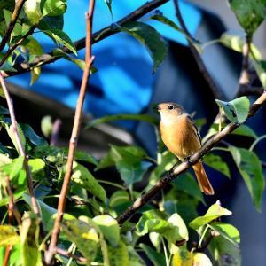 午後の晴間を縫って散策した笹森池 / ご近所の庭先でジョウビタキの雌