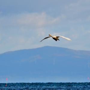 夏泊半島は降雨の悪条件で鳥影薄い / 白鳥飛来地もオオハクチョウが2羽