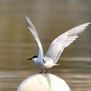 いつもの漁港で指さす方向に目をやると / 空には一羽の「アジサシ(鰺刺)」が飛んでいる