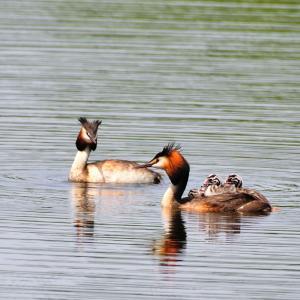 浪岡のため池で遭遇した子育て中のカンムリカイツブリ / 雛が3羽が親の背中に乗っていた