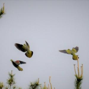 日曜日の朝は早起きして上磯の浜へ / 遠くの木々を飛び交うアオバト