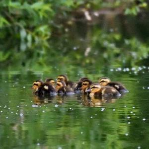 池のまわりをカメラを抱えて鳥撮り散策 / カルガモの小さな雛が数羽
