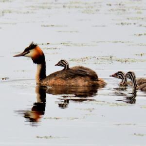 浪岡のため池で撮らえたカンムリカイツブリ / 雛(うり坊)がまだ親の背中に乗っている