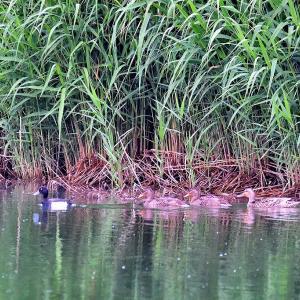 久しぶりに笹森池を鳥撮り散策 / 池にはマガモの親子、すぐ近くには渡りを忘れたキンクロハジロ