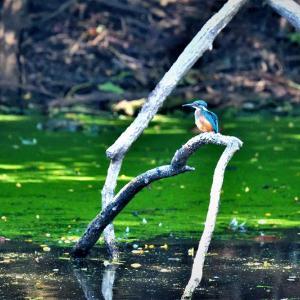 お昼から訪れたいつものため池で / 対岸を飛び交うカワセミ