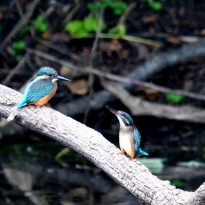 いつもの溜池で今日も撮えたカワセミ / 遠く対岸の止まり木を飛び交っている