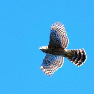 年に一度の龍飛崎、毎年も9月19日にタカの渡りを撮りを / オオタカ(幼鳥)、ハイタカ、ハチクマ
