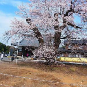 江戸彼岸桜見にっ