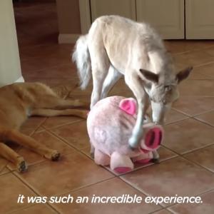 生まれた瞬間に親に捨てられた子馬の、屋内での幸せな生活 海外の反応
