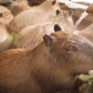 「まるで天国」長崎バイオパークのカピバラの動画に、海外から絶賛の声