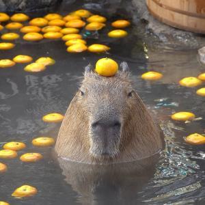 伊豆シャボテン公園で露天風呂を楽しむカピバラ 海外の反応