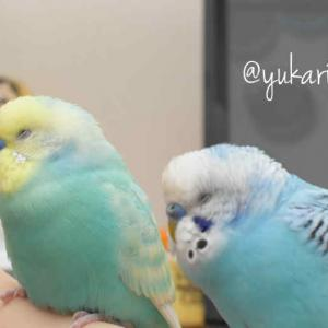 Every budgie is extraordinary. / みんな輝いている
