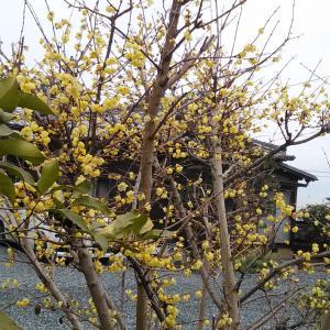 お昼は生スガキヤラーメンをもやしたっぷりで食べて  三時を回った頃から散歩に   蝋梅がいい匂い