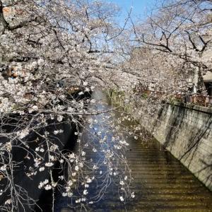 中目黒スターバックスで桜