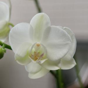 胡蝶蘭の花言葉|花言葉の由来