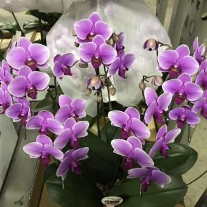 ピンクの胡蝶蘭の花言葉|あなたを愛します!
