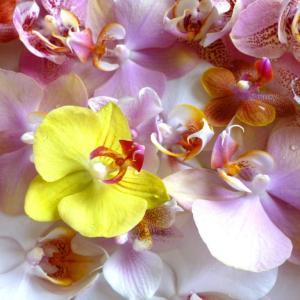 【4つの分類で解説!】胡蝶蘭の種類|写真で見る色々な胡蝶蘭10選