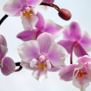 母の日の胡蝶蘭|母に思いを込めて!