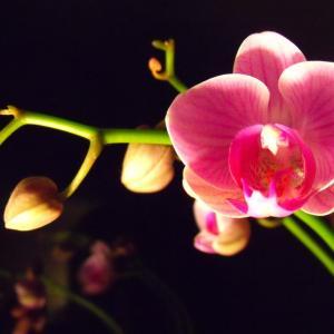 【実は長寿!?】胡蝶蘭の寿命|たったこれだけで花持ちが劇的によくなる!