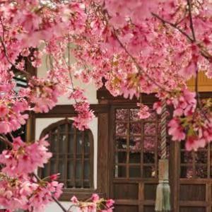 全国桜前線追っかけ布教活動の旅