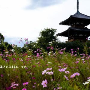 奈良・法起寺 コスモスと3重塔(10月20日撮影)