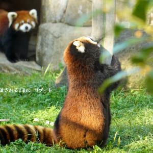 天王寺動物園 遊ぶレッサーパンダ