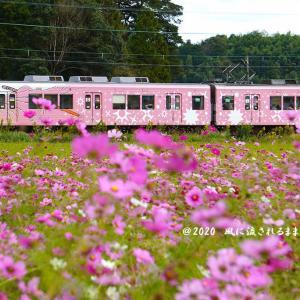 伊賀鉄道・猪田道駅横のコスモス畑