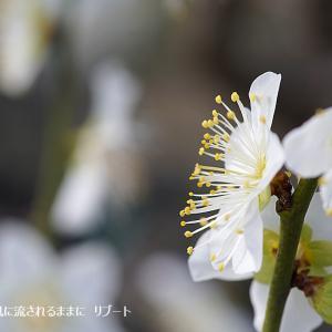 春近し! 大阪城梅林 梅の花(2020年2月2日撮影)