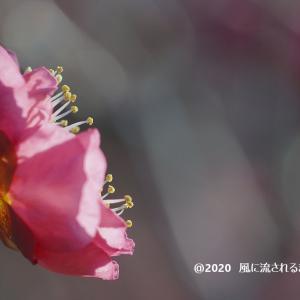 春近し! 大阪城梅林 梅の花 最終回(2020年2月2日撮影)
