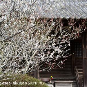 春近し! 大阪・観心寺 梅の花 2 (2020年2月23日撮影)