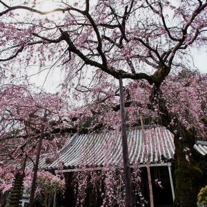 開花! 奈良・香芝市 専称寺(せんしょうじ) しだれ桜