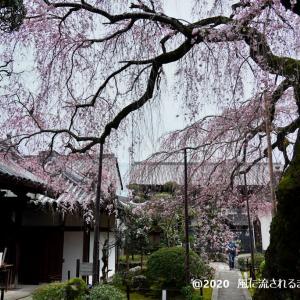 開花! 奈良・香芝市 専称寺(せんしょうじ) しだれ桜 最終回