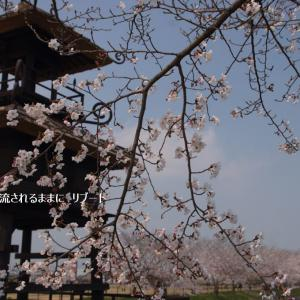 春爛漫! 奈良・唐古・鍵史跡公園(からこかぎいせき) 桜