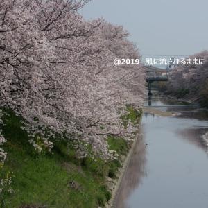 春爛漫! 奈良・箸尾駅近くの桜並木