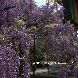 和歌山 子安地蔵寺 藤の花など