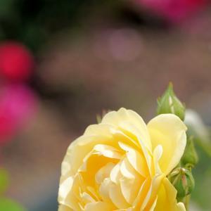 大阪・和泉リサイクル環境公園 バラとラベンダー