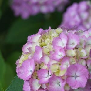 奈良・馬見丘陵公園 紫陽花