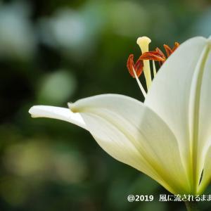 大阪・花の文化園 ユリの花 パート2