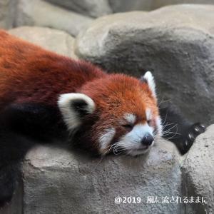 大阪・天王寺動物園 レッサーパンダ