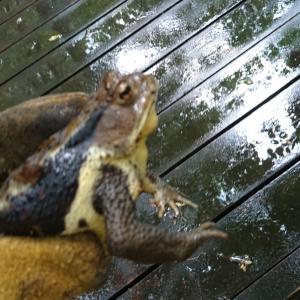 ヒキガエルを捕まえて食べてみた