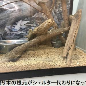 プロから学ぶアオダイショウの飼育セット