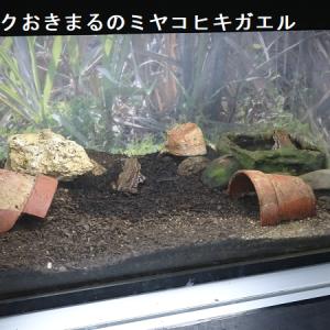 ミヤコヒキガエルの包接・子ガエル・おたまじゃくしin宮古島