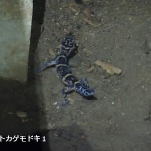遭遇!日本のトカゲモドキ