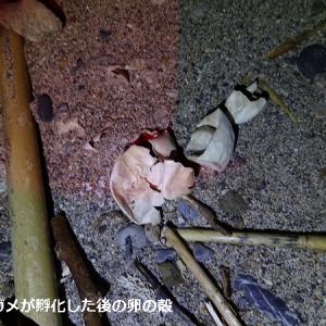 奄美大島夜の観察行 海岸編(リュウキュウカジカガエル、アカマタほか)