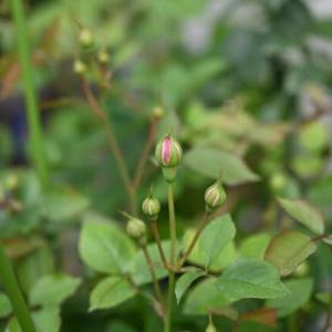 二番花の蕾