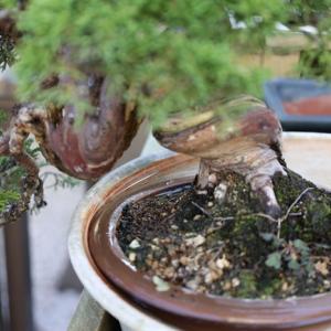 真柏に木固めエース